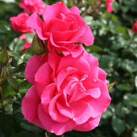 Роза Кустовая Romanze