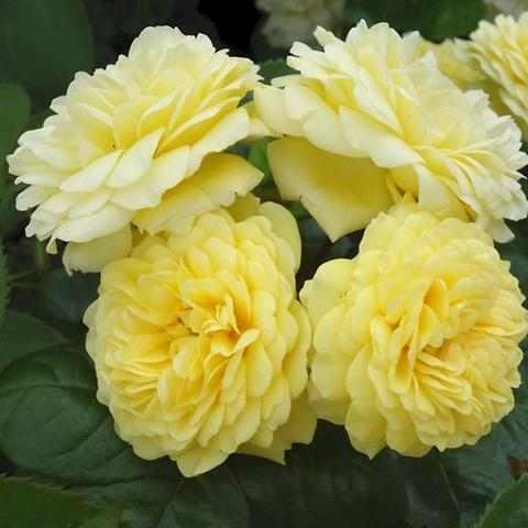 Роза Кустовая Yellow Meilove