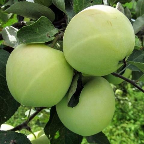 Яблоня летний сорт Белый Налив (Папировка)