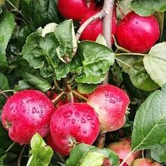 Яблоки Мантет / 1 кг