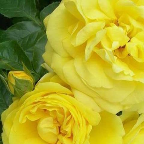 Роза Плетистая Goldstern
