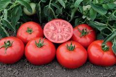 Семена томата Томск F1, Bejo, 5 шт.