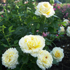 Роза плетистая Сирано де Бержерак