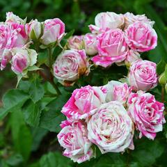 Роза флорибунда Файер Воркс