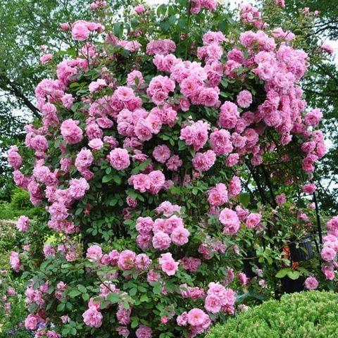 Роза Плетистая John Davis