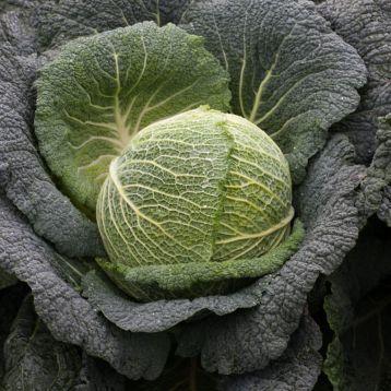 Каталог Виратоба F1 семена капусты савойской (Syngenta / Сингента) виратоба.jpg