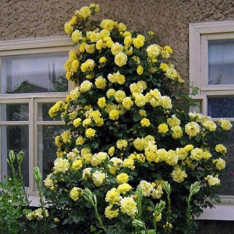 Роза Плетистая Morgensonne