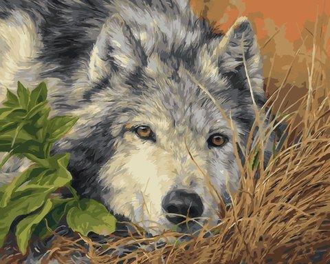 Картина раскраска по номерам 50x65 Волк отдыхает