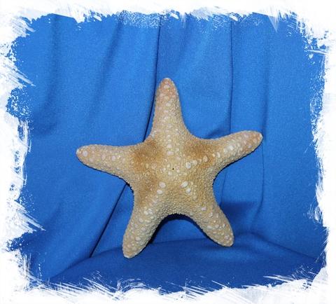 Морская звезда Астеродискус 17-20 см