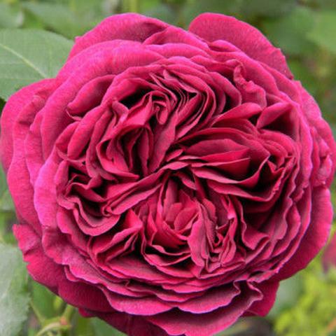 Роза парковая Фальстаф