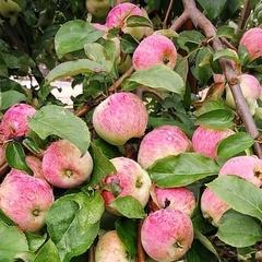 Яблоки сорта Коричное полосатое /1 кг