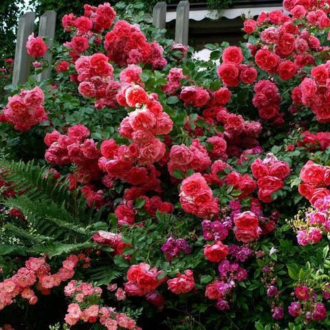 Роза плетистая Rosarium Uetersen