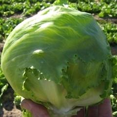 Алабама семена салата айсберг (Vilmorin / Вильморин)
