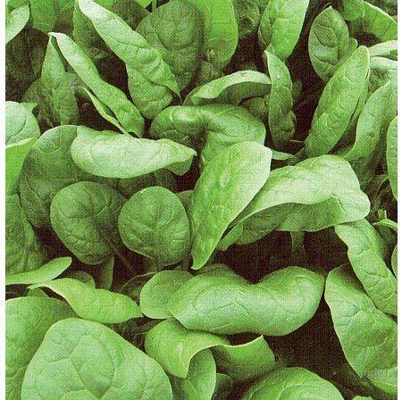 Шпинат Аполло семена шпината (Sakata / Саката) Апполо_семена_овощей_оптом.jpg