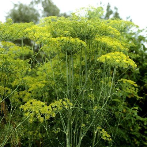 Укроп пахучий семена