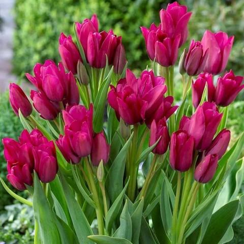 Тюльпан Многоцветковый Фиери Клаб