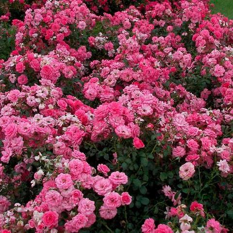 Роза Почвопокровная Mirato
