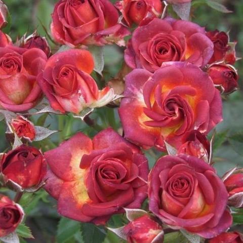 Роза спрей Brown Sugar