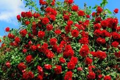 Роза плетистая Ред Каскад