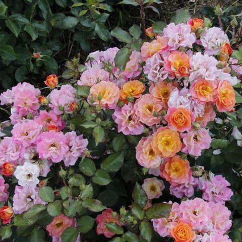 Роза Флорибунда Bordure Camaieu