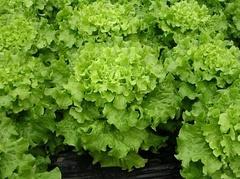 Дедаль семена салата батавия (Vilmorin / Вильморин)