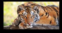 """Постер """"Тигр"""""""