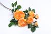 Оранжевая роза.