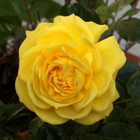 Роза Флорибунда Friesia
