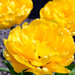 tulip-Yellow-Pomponette-01