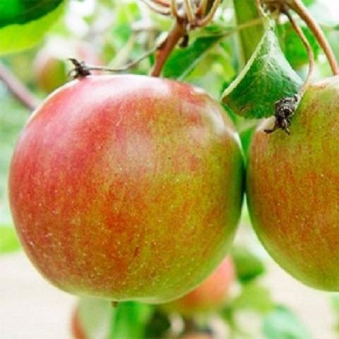 Яблоня зимний сорт Бутуз