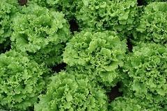 Экскиз семена салата батавия (Vilmorin / Вильморин)