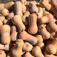 Матильда F1 семена тыквы (Enza Zaden / Энза Заден)