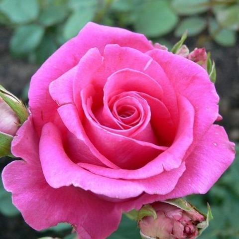 Роза чайно-гибридная  Ravel