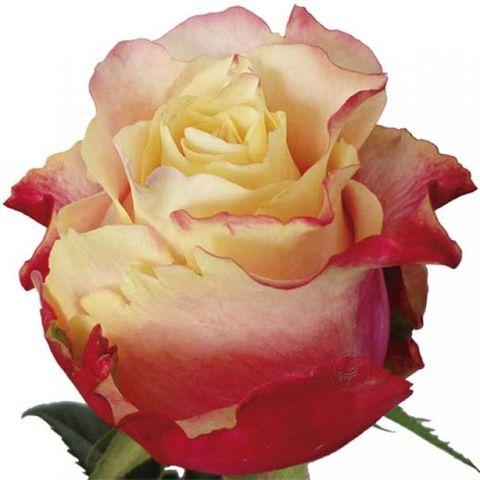 Роза чайно-гибридная 3D