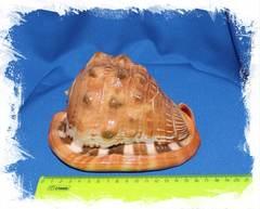 Ципрекассис руфа размер