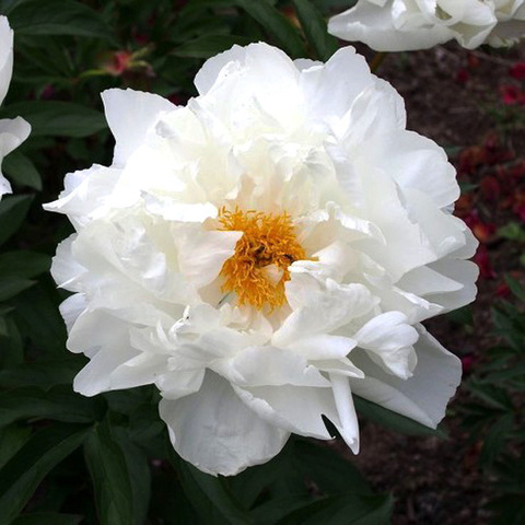 Пион White Grace