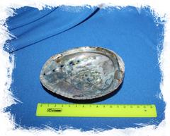 Перламутровая ракушка Галиотис фулгенс, Haliotis fulgens