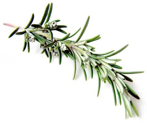 Розмарина  эф.масло (Rosemary oil).