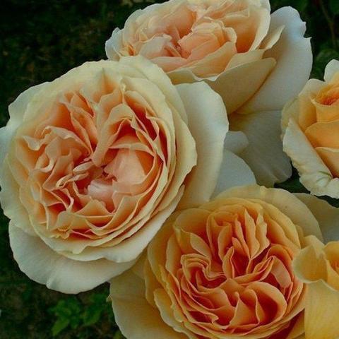 Роза Чайно-гибридная Candlelight