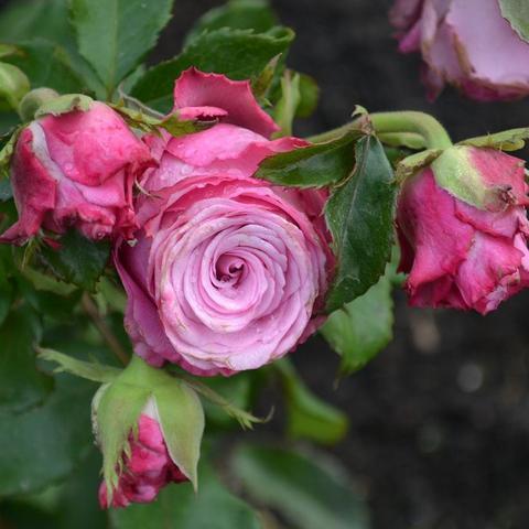 Роза Чайно-гибридная Deep water