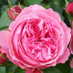 Роза флорибунда Леонардо да Винчи