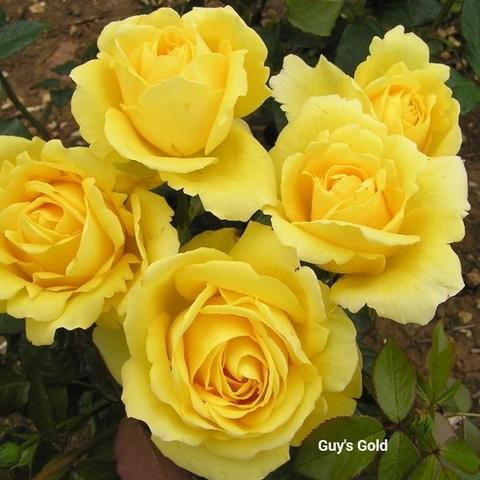 Роза чайно-гибридная Guy's Gold