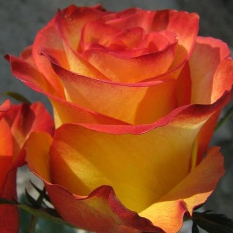 Роза Чайно-гибридная High magic