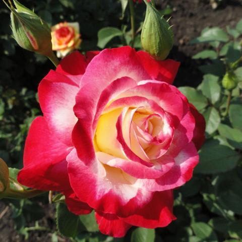 Роза чайно-гибридная Дабл Делайт