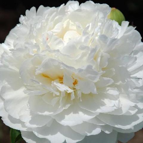 Пион White Ivory