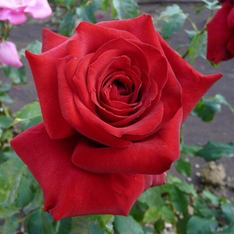 Роза чайно-гибридная Josephine Bruce