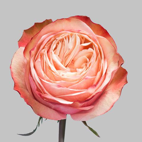 Роза чайно-гибридная Kahala