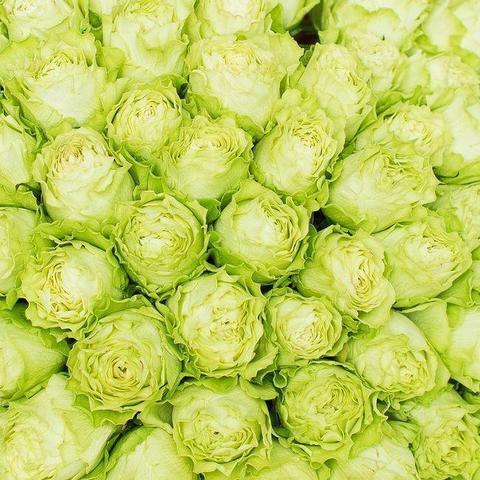 Роза чайно-гибридная Lemonade