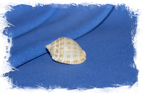 Ракушка Кассис гранулата, Semicassis undulata