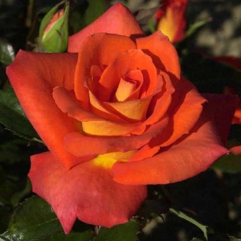 Роза чайно-гибридная Monica